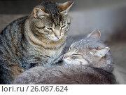 Купить «Две кошки рядом», фото № 26087624, снято 5 июня 2016 г. (c) Татьяна Белова / Фотобанк Лори