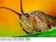 Купить «Жук с круглыми глазами», фото № 26093780, снято 7 августа 2012 г. (c) Geraldas Galinauskas / Фотобанк Лори