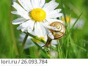 Купить «Улитка после дождя», фото № 26093784, снято 22 мая 2012 г. (c) Geraldas Galinauskas / Фотобанк Лори