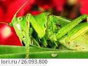 Купить «Зеленый кузнечик макро», фото № 26093800, снято 26 июля 2012 г. (c) Geraldas Galinauskas / Фотобанк Лори