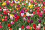 Tulips in the Keukenhof park, фото № 26094520, снято 24 апреля 2016 г. (c) Руслан Кудрин / Фотобанк Лори