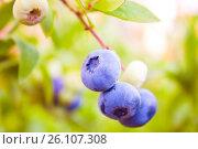 Купить «Bunch of ripe blueberries», фото № 26107308, снято 4 августа 2015 г. (c) Анна Гучек / Фотобанк Лори