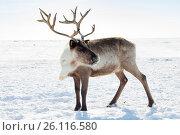 Купить «Северный олень в ямальской тундре зимой», фото № 26116580, снято 14 апреля 2017 г. (c) Владимир Мельников / Фотобанк Лори