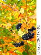 Спелые черные ягоды на фоне пожелтевших осенних листьев. Стоковое фото, фотограф Юлия Болоцкая / Фотобанк Лори