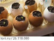 Выращивание рассады в яичной скорлупе. Стоковое фото, фотограф Светлана Попова / Фотобанк Лори