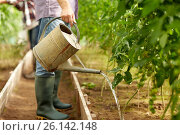 senior man with watering can at farm greenhouse. Стоковое фото, фотограф Syda Productions / Фотобанк Лори