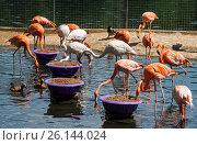 Купить «Фламинго в московском зоопарке», фото № 26144024, снято 21 ноября 2018 г. (c) Елена Корнеева / Фотобанк Лори