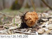 Купить «Первый весенний гриб - строчок (Gyromitra gigas)», фото № 26145200, снято 19 июня 2019 г. (c) Юрий Фатеев / Фотобанк Лори