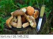 Купить «Собранные грибы на пенечке с ножом», фото № 26145232, снято 25 февраля 2020 г. (c) Юрий Фатеев / Фотобанк Лори