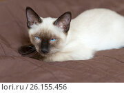 The kitten (Siamese type ,Mekong bobtail) lies on a cover and dozes. Стоковое фото, фотограф Куликов Константин / Фотобанк Лори