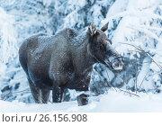 Купить «Moose, Alces alces, in winter time time, with snowy trees around, Tjåmotis, Jokkmokk, Swedish Lapland, Sweden.», фото № 26156908, снято 15 января 2013 г. (c) age Fotostock / Фотобанк Лори