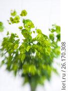 Green flower Euphorbia cyparissias cypress spurge, фото № 26170308, снято 21 апреля 2017 г. (c) Сурикова Ирина / Фотобанк Лори