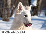 Купить «Зимний портрет белой швейцарской овчарки», фото № 26170832, снято 19 марта 2006 г. (c) Недзельская Татьяна / Фотобанк Лори