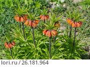 Купить «Рябчик императорский (лат. Fritillaria imperialis) в саду», эксклюзивное фото № 26181964, снято 6 мая 2017 г. (c) Елена Коромыслова / Фотобанк Лори