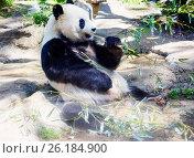 Купить «Большая панда (белая панда)», фото № 26184900, снято 7 ноября 2014 г. (c) Галина Савина / Фотобанк Лори