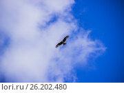 Чёрный Коршун в небе. Стоковое фото, фотограф Александр Агафонов / Фотобанк Лори