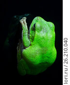 Купить «Зеленая Древесная Лягушка Schlegels Green Tree Frog», фото № 26210040, снято 19 апреля 2017 г. (c) Галина Савина / Фотобанк Лори