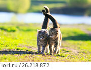 Two cute striped kitten walking together in an embrace on a green meadow and holding up the tails. Стоковое фото, фотограф Бачкова Наталья / Фотобанк Лори