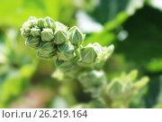 Нераспустившееся растение. Стоковое фото, фотограф Аня Шумкова / Фотобанк Лори