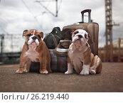 Купить «Puppies English bulldog with bags and a suitcase at the station. Dog travel», фото № 26219440, снято 18 июня 2019 г. (c) Ирина Козорог / Фотобанк Лори