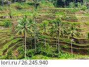 Купить «rice plantation terrace on Sri Lanka», фото № 26245940, снято 22 февраля 2015 г. (c) Syda Productions / Фотобанк Лори