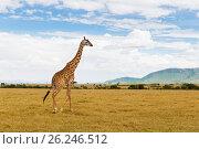 giraffe walking along savannah at africa (2017 год). Стоковое фото, фотограф Syda Productions / Фотобанк Лори