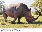 Купить «rhino grazing in savannah at africa», фото № 26246564, снято 20 февраля 2017 г. (c) Syda Productions / Фотобанк Лори