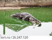 crocodiles. Стоковое фото, фотограф Виктор Застольский / Фотобанк Лори