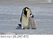 Купить «Emperor Penguin with chick», фото № 26247472, снято 31 октября 2010 г. (c) Vladimir / Фотобанк Лори