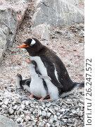 Купить «Adult Gentoo penguiN with chick», фото № 26247572, снято 12 января 2007 г. (c) Vladimir / Фотобанк Лори
