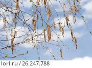 Ветки березы с сережками весной на фоне голубого неба. Стоковое фото, фотограф Елена Коромыслова / Фотобанк Лори