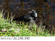 Купить «Corvus cornix. Серая ворона на берегу», фото № 26248340, снято 4 мая 2017 г. (c) Григорий Писоцкий / Фотобанк Лори