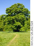 Acer tree on a sunny day, фото № 26262524, снято 10 мая 2017 г. (c) Татьяна Кахилл / Фотобанк Лори