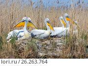 Купить «Пеликаны на гнездах (Pelecanus crispus)», фото № 26263764, снято 25 апреля 2017 г. (c) Ирина Яровая / Фотобанк Лори