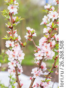Ветки цветущей вишни. Стоковое фото, фотограф Елена Руй / Фотобанк Лори