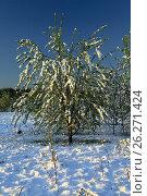 Купить «Весеннее деревце под снегом. Подмосковье», фото № 26271424, снято 12 мая 2017 г. (c) Mike The / Фотобанк Лори