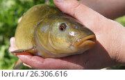 Рыба линь в руках рыболова. Стоковое фото, фотограф Денис Сураев / Фотобанк Лори