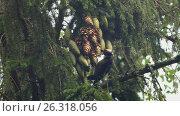 Купить «Большой пестрый дятел (Dendrocopos major) клюет шишки на ели», видеоролик № 26318056, снято 13 ноября 2019 г. (c) Терешко Сергей / Фотобанк Лори