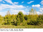 Купить «Молодые сосны на опушке леса», фото № 26322824, снято 13 мая 2017 г. (c) Илья Бесхлебный / Фотобанк Лори