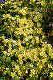 Лимнантовые - Poached egg plant или Лимнантес Дугласа цветы, фото № 26330908, снято 17 мая 2017 г. (c) Татьяна Кахилл / Фотобанк Лори