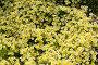 Лимнантовые - Poached egg plant или Лимнантес Дугласа цветы, фото № 26330968, снято 17 мая 2017 г. (c) Татьяна Кахилл / Фотобанк Лори
