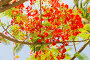 flowers of delonix regia or flame tree outdoors, фото № 26335884, снято 25 февраля 2017 г. (c) Syda Productions / Фотобанк Лори