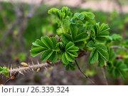 Листья шиповника. Стоковое фото, фотограф Аня Шумкова / Фотобанк Лори