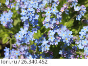 Купить «Цветение незабудки», эксклюзивное фото № 26340452, снято 16 мая 2017 г. (c) Шуньята Антонова / Фотобанк Лори