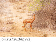 Купить «Gerenuk or giraffe gazelle near bushes at savannah», фото № 26342992, снято 15 августа 2015 г. (c) Сергей Новиков / Фотобанк Лори