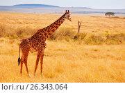 Adult giraffe standing in arid Kenyan savannah (2015 год). Стоковое фото, фотограф Сергей Новиков / Фотобанк Лори