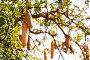 Kigelia or sausage tree fruits in Southern Africa, фото № 26343068, снято 19 августа 2015 г. (c) Сергей Новиков / Фотобанк Лори
