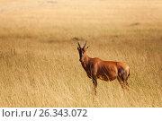 Купить «Topi standing in dried grass of Kenyan savannah», фото № 26343072, снято 19 августа 2015 г. (c) Сергей Новиков / Фотобанк Лори