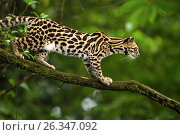 A wild Margay cat, Leopardus wiedii, in a tree near Arenal, Costa Rica. Margays are mostly nocturnal and live in the trees. They are about the size of a large house cat. Стоковое фото, фотограф Jon G. Fuller / age Fotostock / Фотобанк Лори