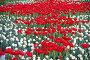 Яркие красные тюльпаны на клумбе, фото № 26352588, снято 13 мая 2017 г. (c) Natalya Sidorova / Фотобанк Лори